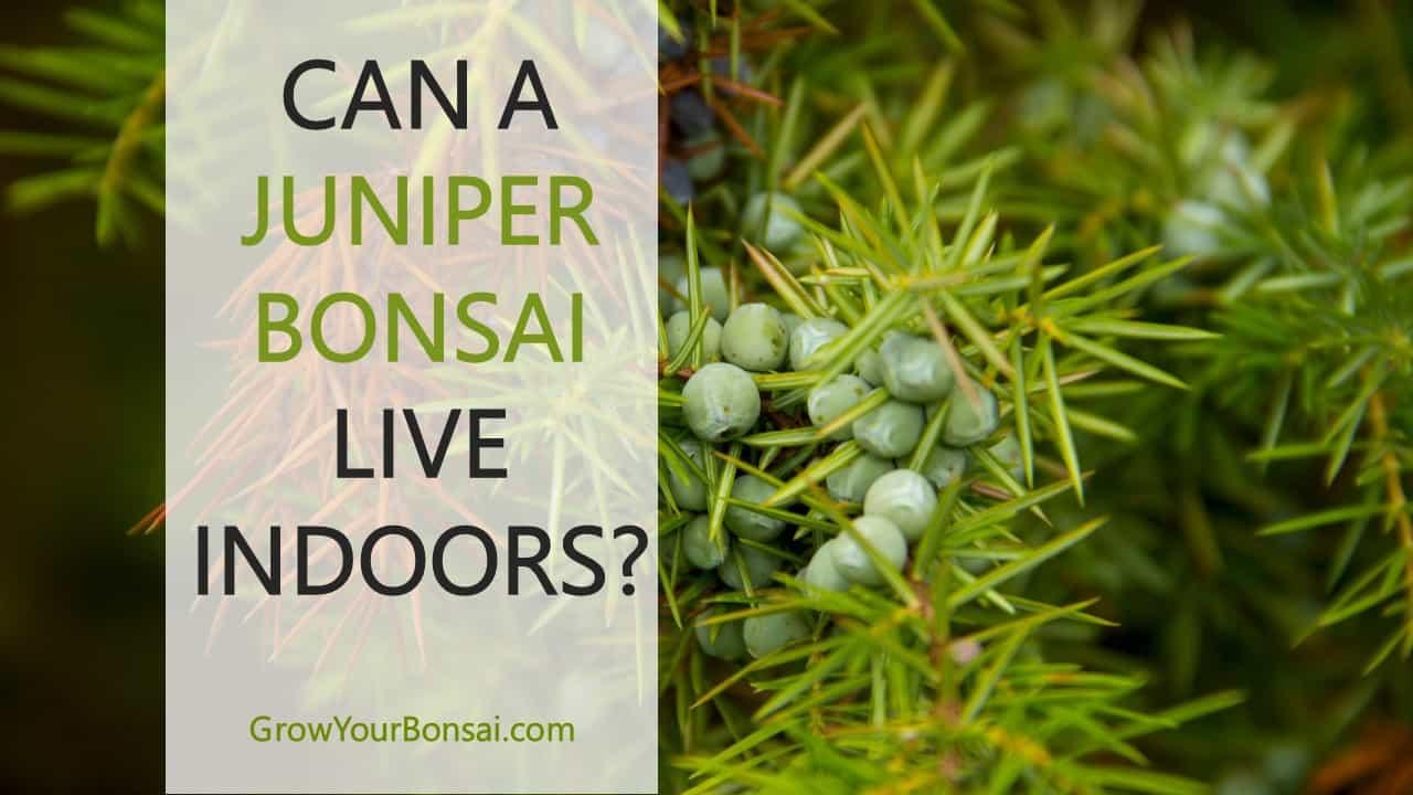 Can a juniper bonsai live indoors