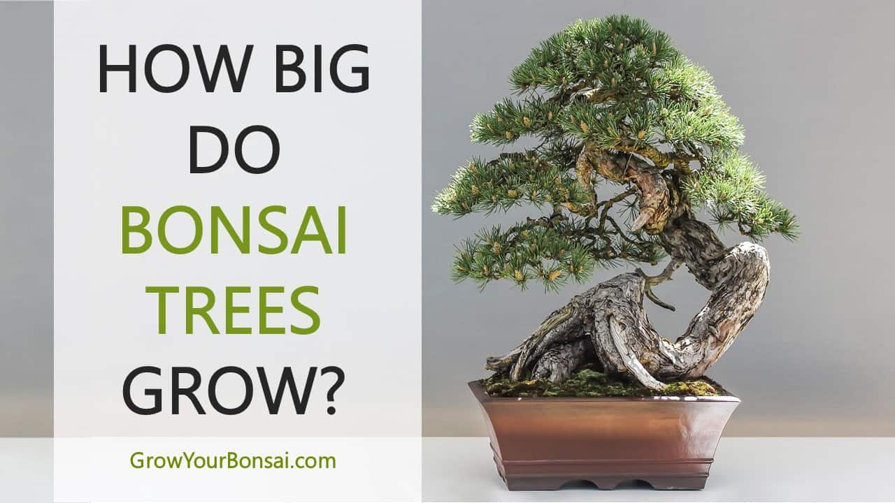 How Big Do Bonsai Trees Grow Grow Your Bonsai