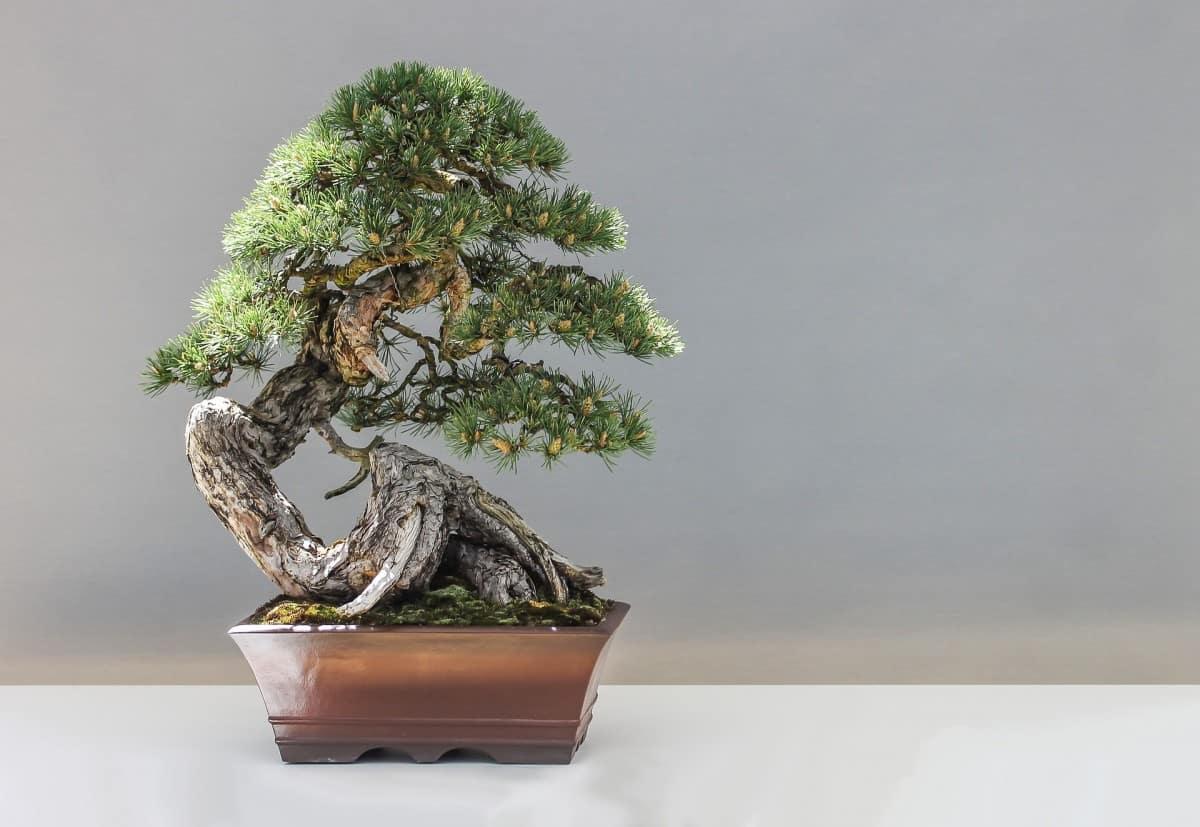 How Big Do Bonsai Trees Grow Grow Your Bonsai