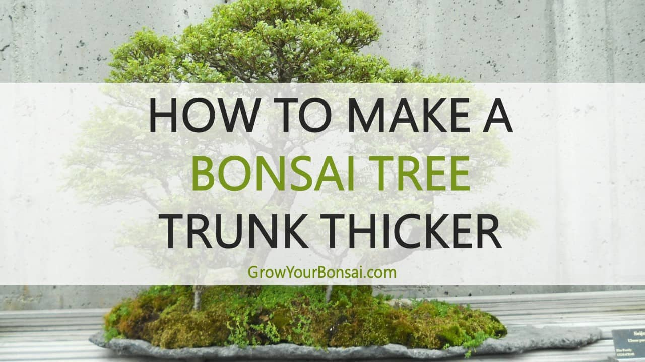 How To Make A Bonsai Tree Trunk Thicke