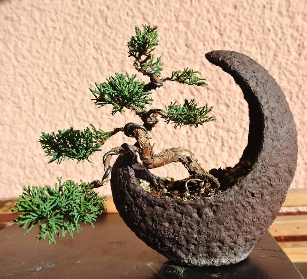 Can A Juniper Bonsai Live Indoors Grow Your Bonsai