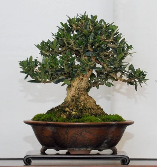 Do Bonsai Trees Produce Fruit Grow Your Bonsai
