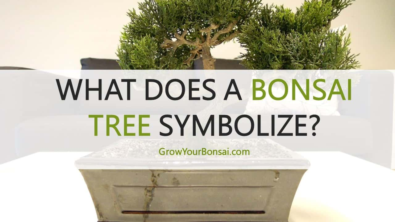 What Does A Bonsai Tree Symbolize Grow Your Bonsai