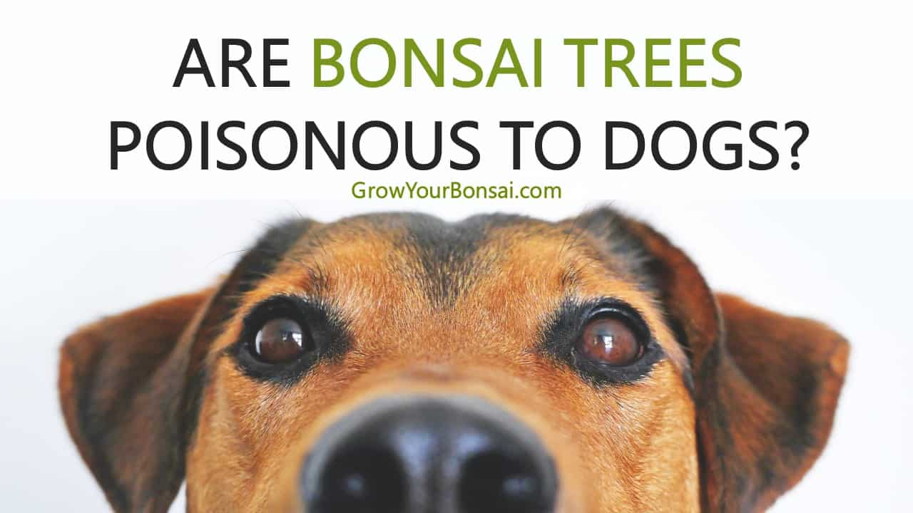 Are Bonsai Trees Poisonous To Dogs