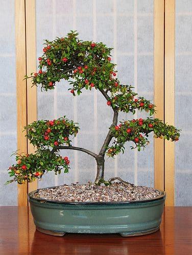 berry do bonsai trees produce fruit