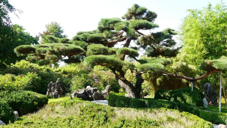 can you plant bonsai trees in the ground
