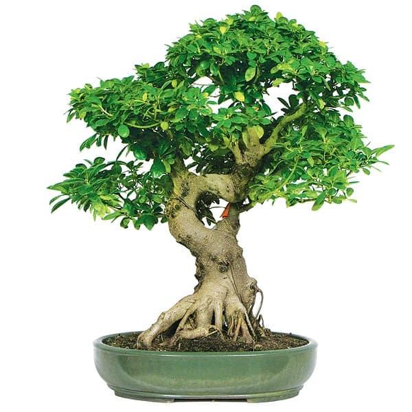 fig do bonsai trees produce fruit