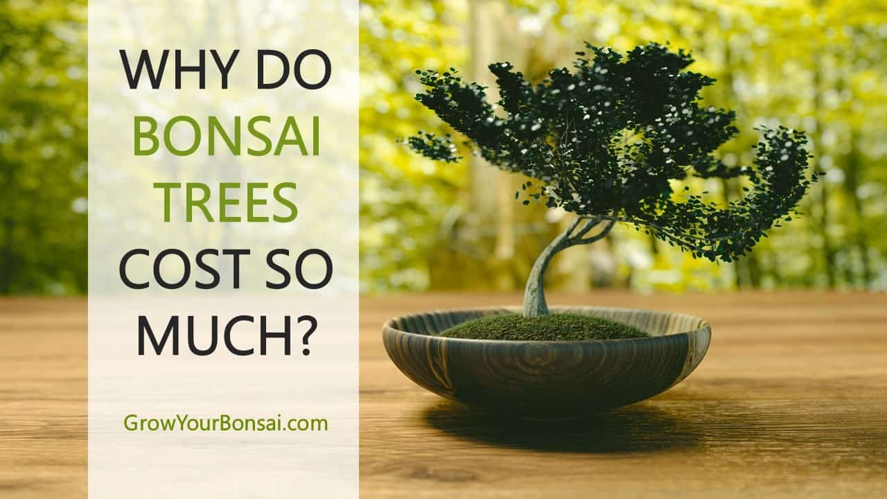 why do bonsai trees cost so much