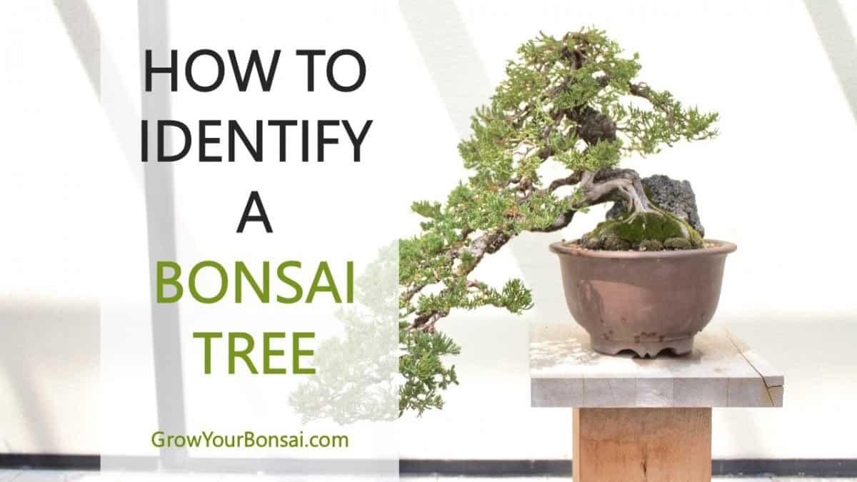How To Identify A Bonsai Tree Grow Your Bonsai