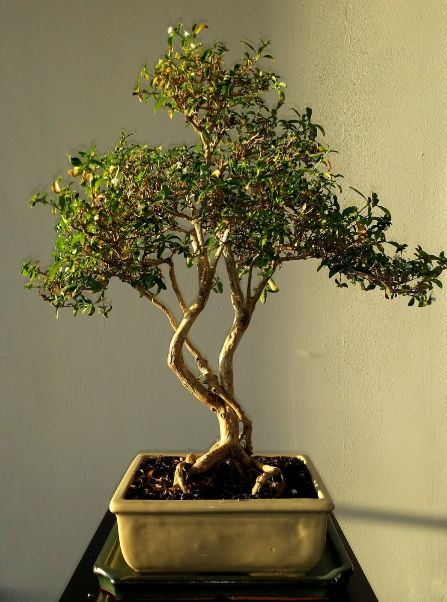 How To Identify A Bonsai Tree Grow Your Bonsai