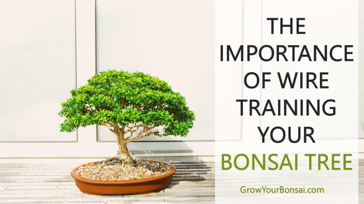 THE IMPORTANCE OF WIRE TRAINING YOUR BONSAI TREE