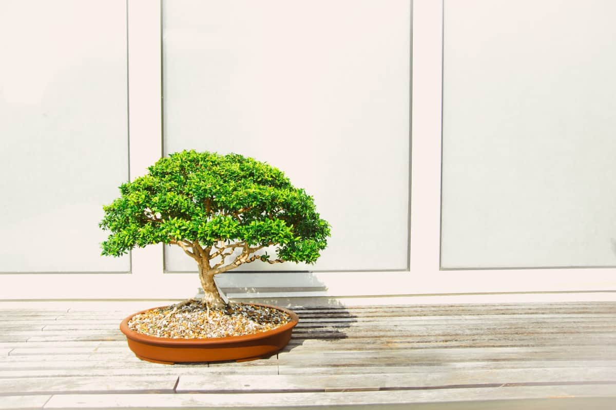 The Importance of Wire Training Your Bonsai Feature