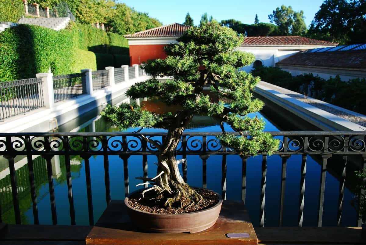 The Ultimate Guide To Watering Your Bonsai Tree Grow Your Bonsai