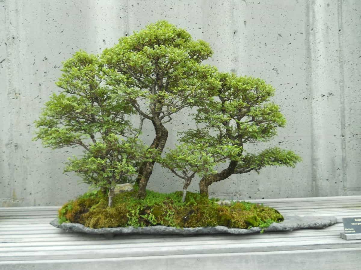 juniper bonsai indoors